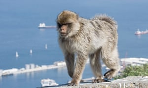 A Barbary macaque on the Rock of Gibraltar.