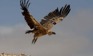 A vulture  with a GPS tracker