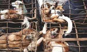 Thailand's Illegal Dog Meat trade