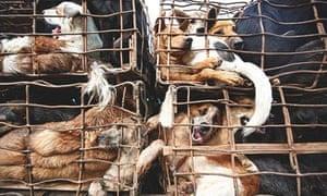 How eating dog became big business in Vietnam | World news