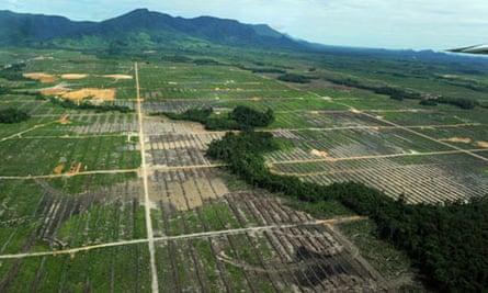 palm oil fields Indonesia