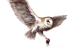 Barn owl in flight: illustration by George Boorujy