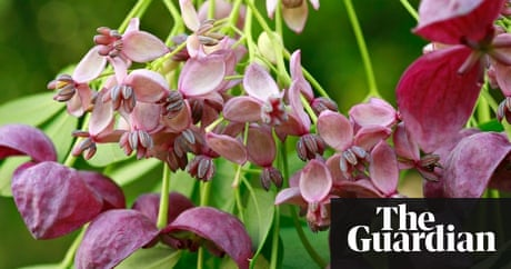 Poisonous lords and ladies and the edible fruit of the chocolate poisonous lords and ladies and the edible fruit of the chocolate vine environment the guardian mightylinksfo