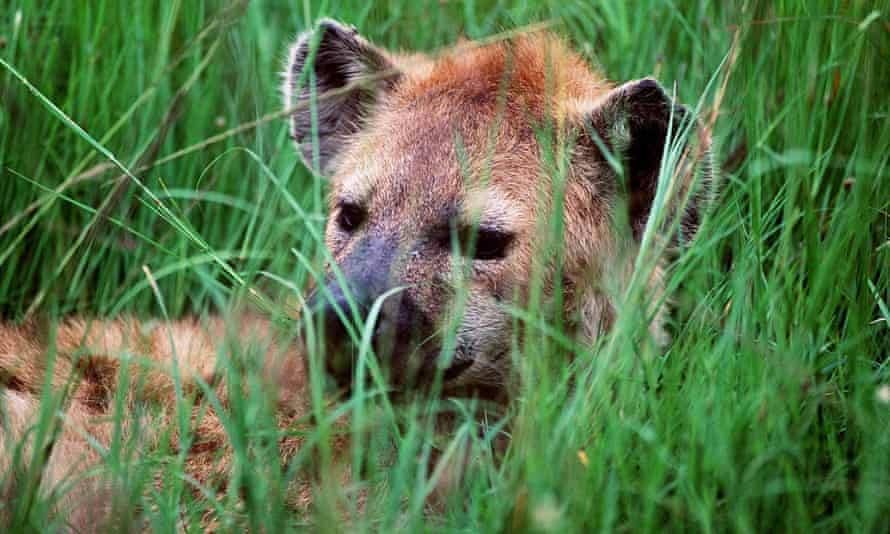 A spotted hyena in Kenya