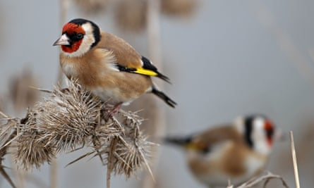 Goldfinches perched on plants