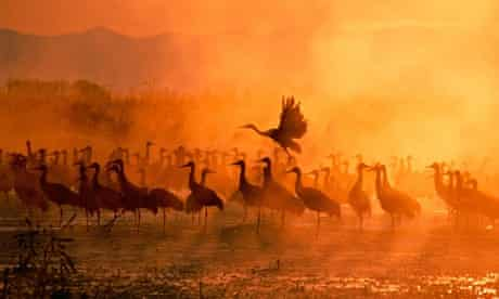 Cranes gathering together in shallow water on a foggy morning are silhouetted by the yellow sunlight