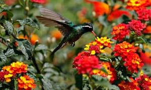 MDG : A hummingbird hovers over a patch of flowers as it collects nectar in Mexico City