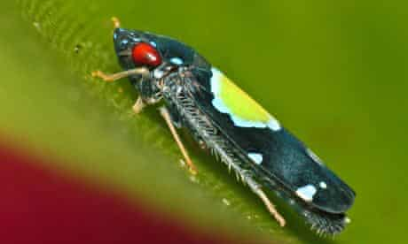 Cavichiana bromelicola –a leafhopper with red eyes and a bright yellow spot on its back