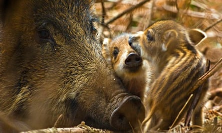 Wild boar with piglets, Forest of Dean