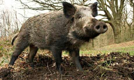 Young male boar rooting up woodland floor
