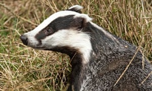 Badger: partial side view, with its head raised and looking to the left