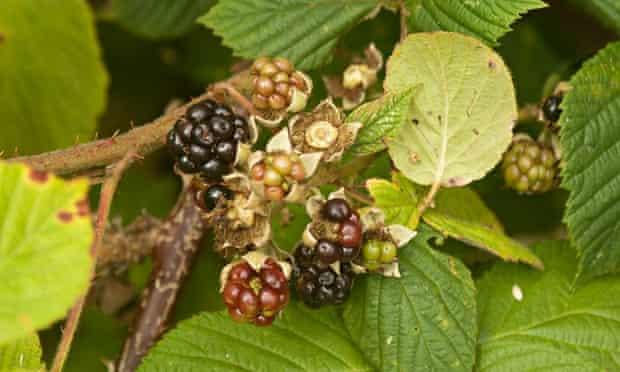 autumn foraging blackberries