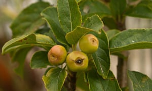 autumn foraging crab apples
