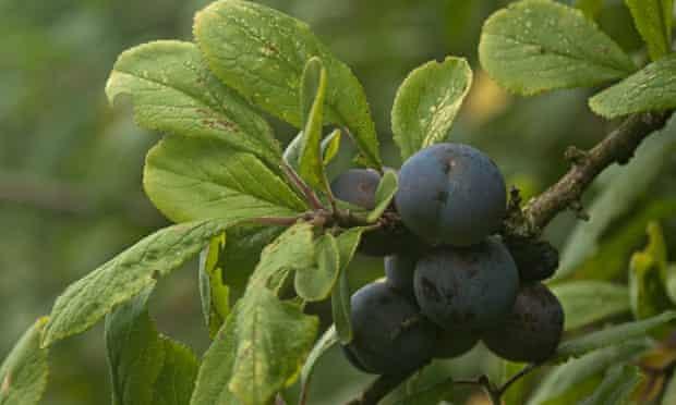 autumn foraging damsons
