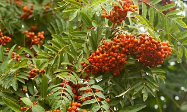 autumn foraging rowan berries