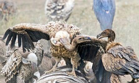 Vultures devour a zebra