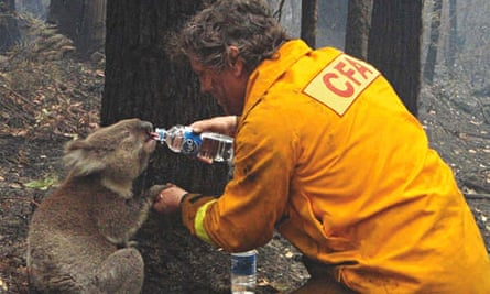 Thats me in the picture David Tree gives water to a koala February 2009  Victoria Australia  Photography  The Guardian