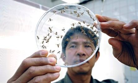 lab technician examine tsetse flies