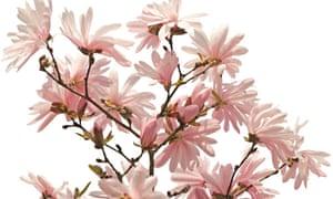 Alys Fowler: magnolias