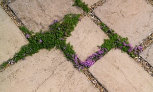 Alys Fowler: plants for patio cracks | Life and style | The