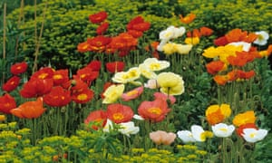 Papaver nudicaule 'Meadow Pastels' and 'Red Sail'. Photograph: Gap Photos/Jonathan Buckley