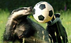 Badgers playing with football