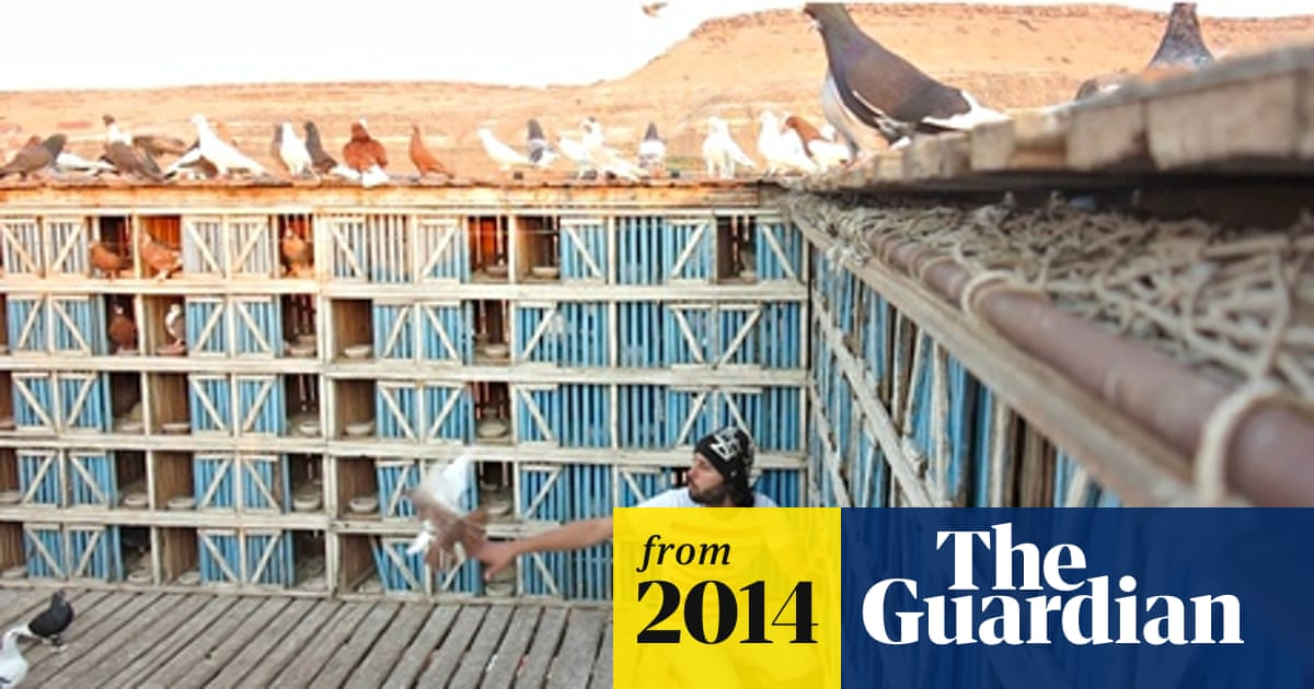 Pigeon fanciers in Egypt take their hobby to lofty heights