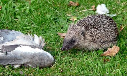 Hedgehog and pigeon