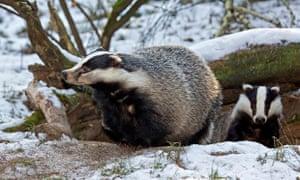 Badgers emerge from sett