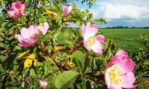 Dog roses along field edge