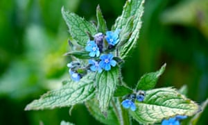 Green alkanet in bloom