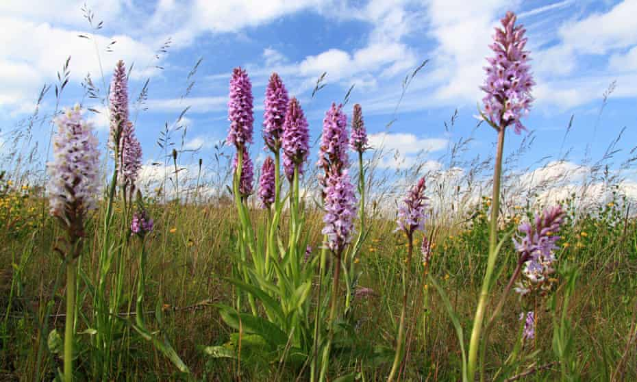 Common spotted orchids (Dactylorhiza fuchsii), in meadow, Derbyshire