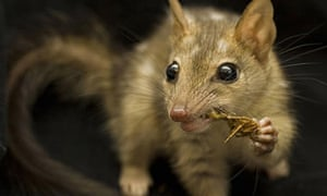 A northern quoll, as featured in Attenborough's Ark