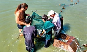 Israel's Kibbutz Afikim fishfarm Removing young carp to be transferred to the larger growing pools