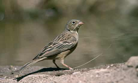 An ortolan bunting. Diners traditionally eat them with a napkin on their heads to enjoy the smell