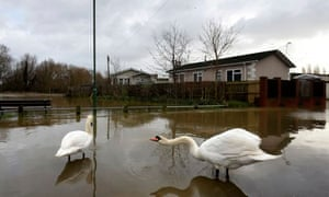 Swans In Floodwater From The River Stour At Iford Bridge Home Park Near Bournemouth