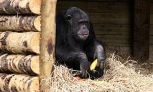chimpanzee-emotions-ethics