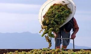 grape harvest france