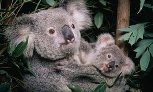 koala cub