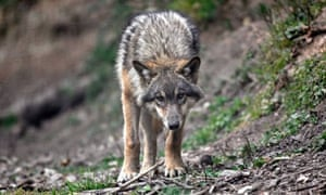 france wolf conservation