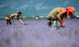 bulgaria lavender