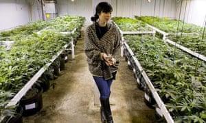 colorado marijuana grower