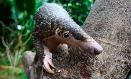 pangolin endangered wildlife