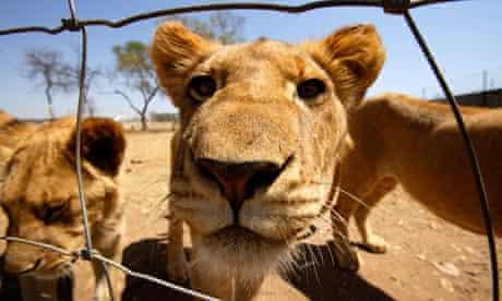 captive lion south africa