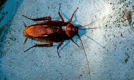 american cockroach insects