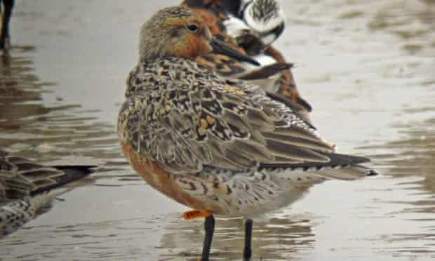 Moonbird rufa red knot