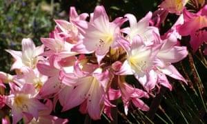 Amaryllis Belladonna flower
