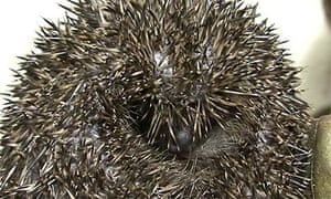 A hedgehog at Vale Wildlife Rescue in Gloucestershire