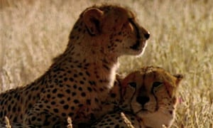 The National Geographic archives: Cheetahs on the hunt