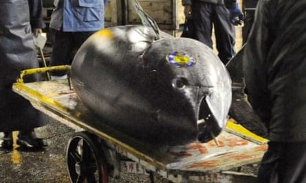 Giant bluefin tuna on a cart